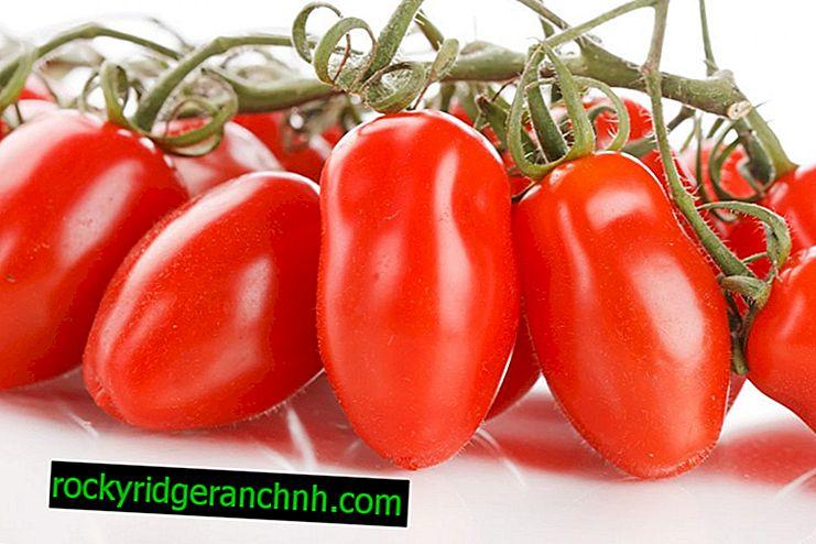 Beschreibung der Tomate French Grozdeva