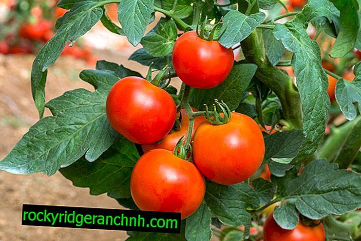 Egenskaper av tomatsorten Moskva Lights