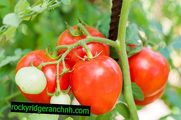 Características de las variedades de tomate Crema Moscú