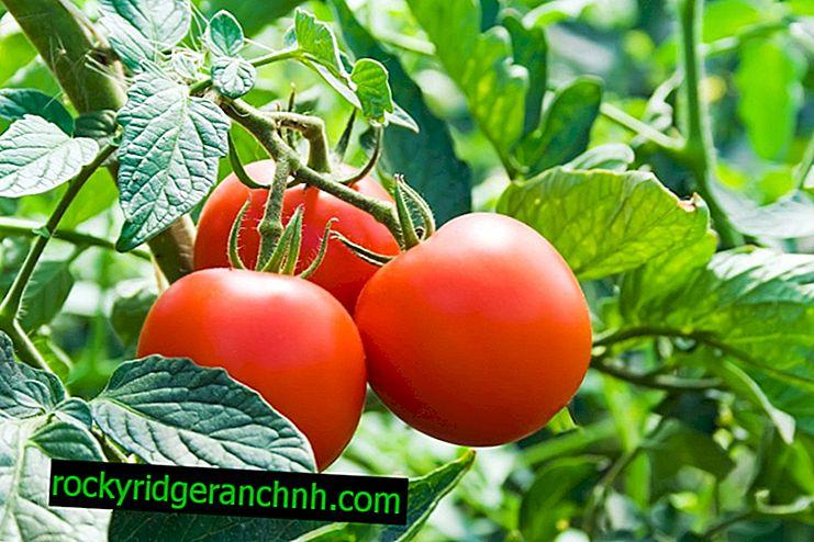 Caractéristiques des cultivars de tomates Dachnik
