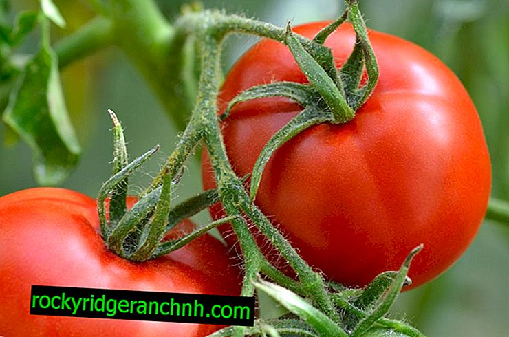 Устойчиви на фитофтора сортове домати