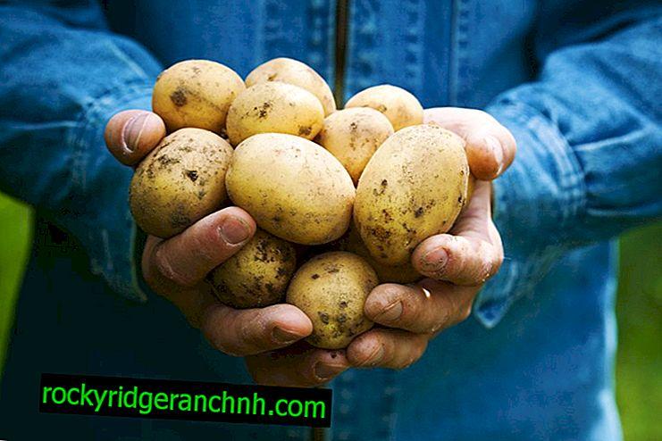 Holländska Colombo Potato Variety