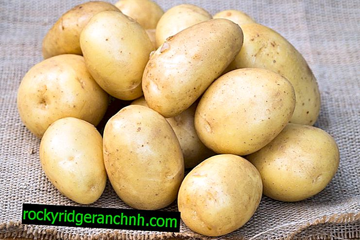 Характеристика картоплі сорту Уладар