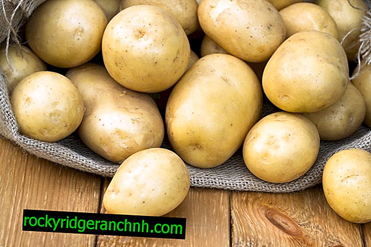 Characteristics of Scarb potatoes