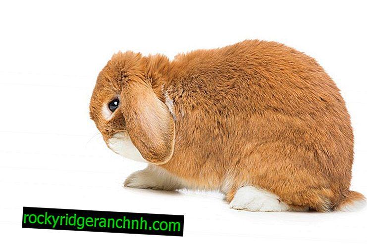 Hoe oorschurft bij konijnen te behandelen