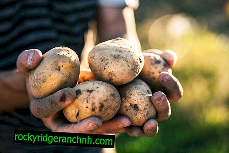 Caractéristiques des pommes de terre Zorochka