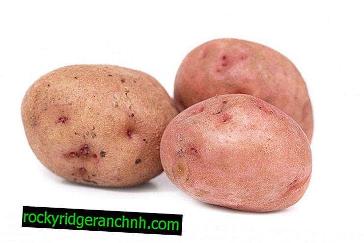 Karakteristike Aurora krumpira