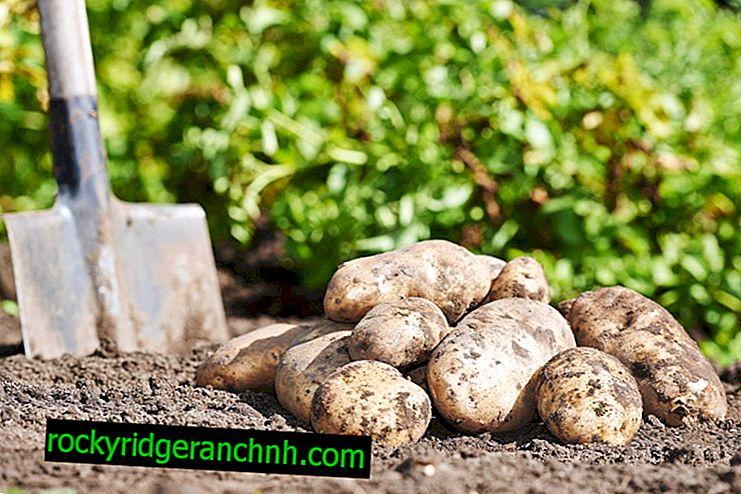 Сорт картоплі бриз