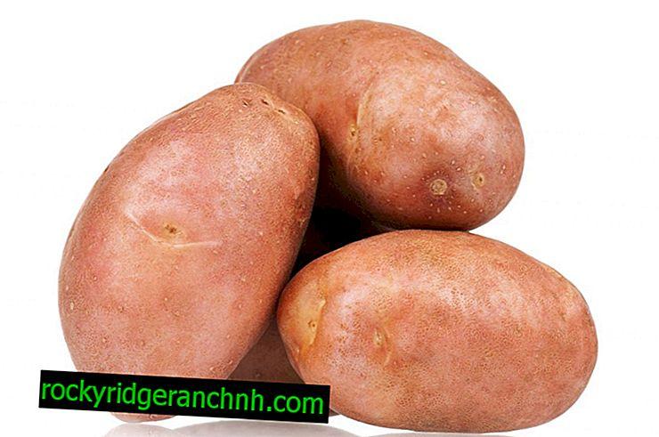 Опис картоплі Синку