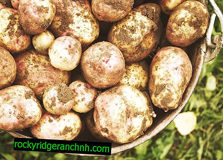 Egenskaper hos potatisvaror Ivan Da Marya