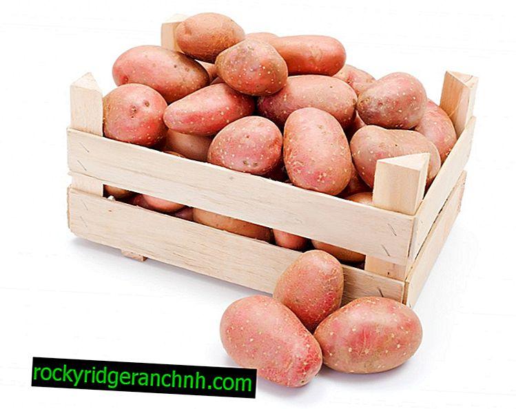Karakteristika ved Asterix kartofler