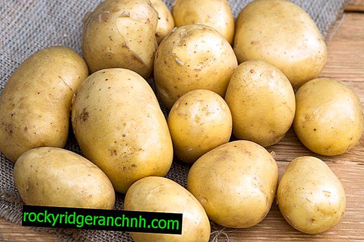 Karakteristike sorte krumpira Plava