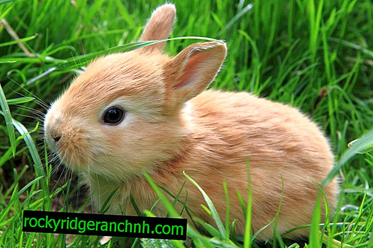 Лечение на ушен кърлеж при зайци