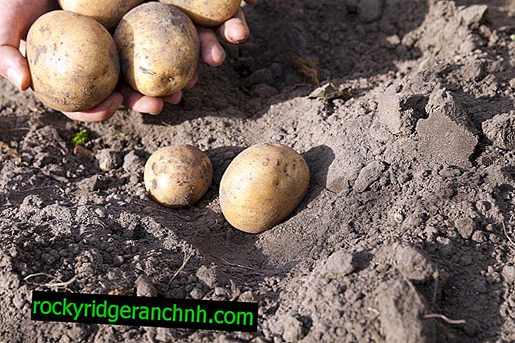 Značilnosti krompirja Karatop