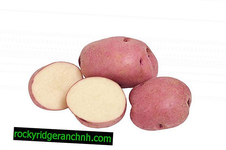 Karakteristike krumpira