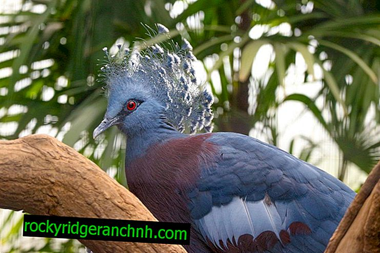 Características do pombo coroado