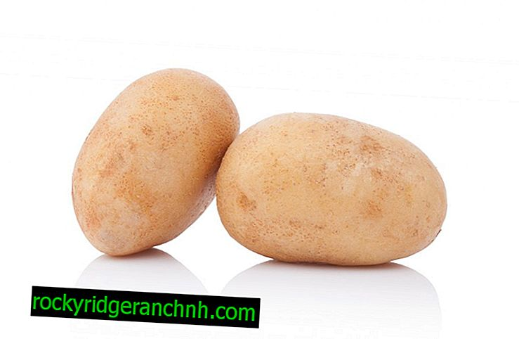 Ragned Patates açıklaması