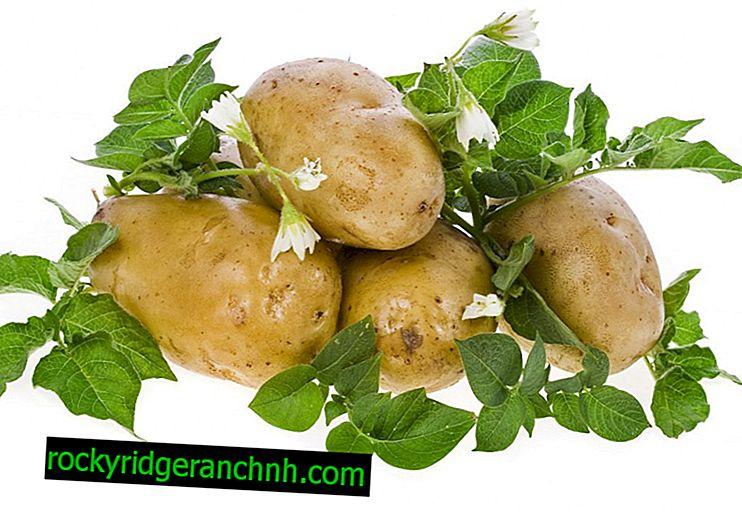 Melhores variedades de batata para a região noroeste
