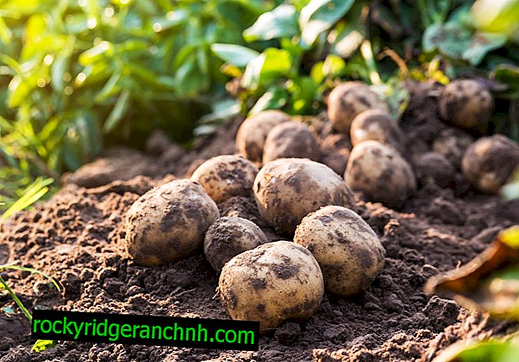 Caractéristiques des pommes de terre Lasunok