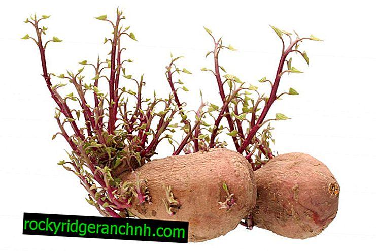 Como cultivar batatas a partir de brotos