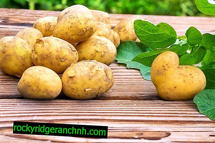 Soorten Wit-Russische aardappelen