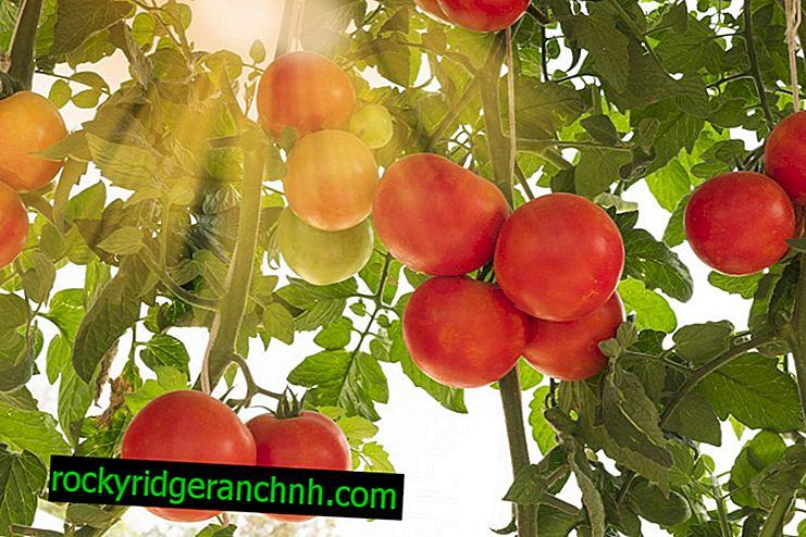Popis rajče Raspberry Empire