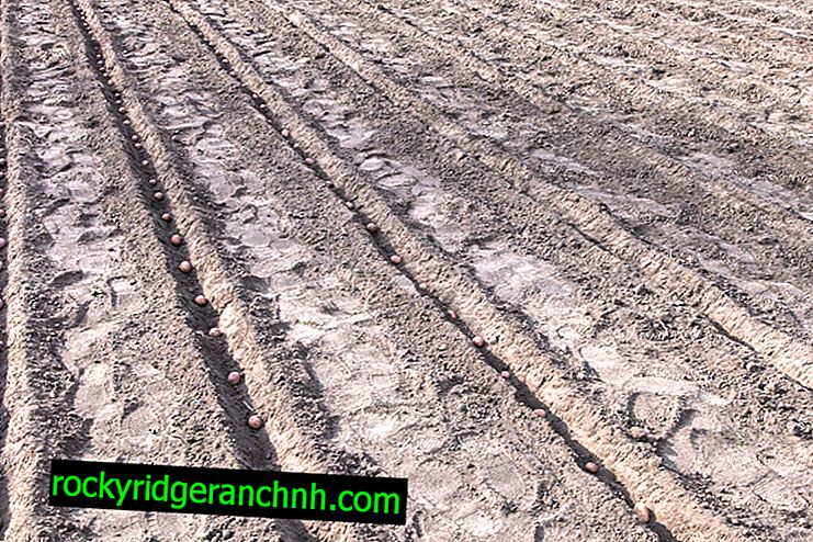 Doporučená teplota půdy pro pěstování brambor
