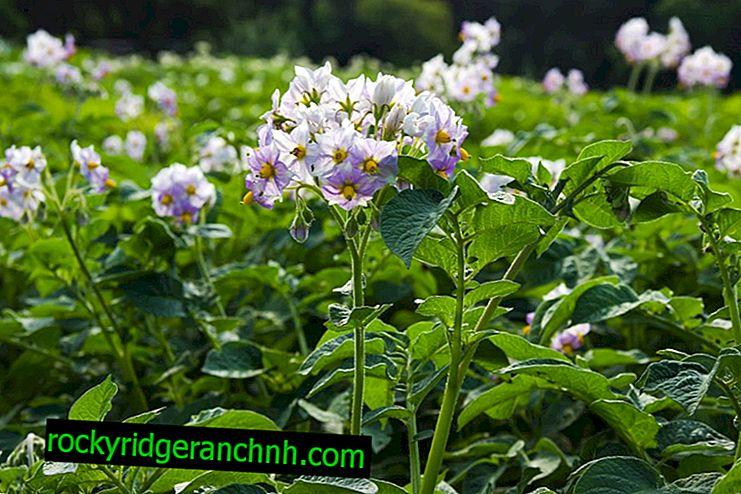 Kako hraniti krompir med cvetenjem