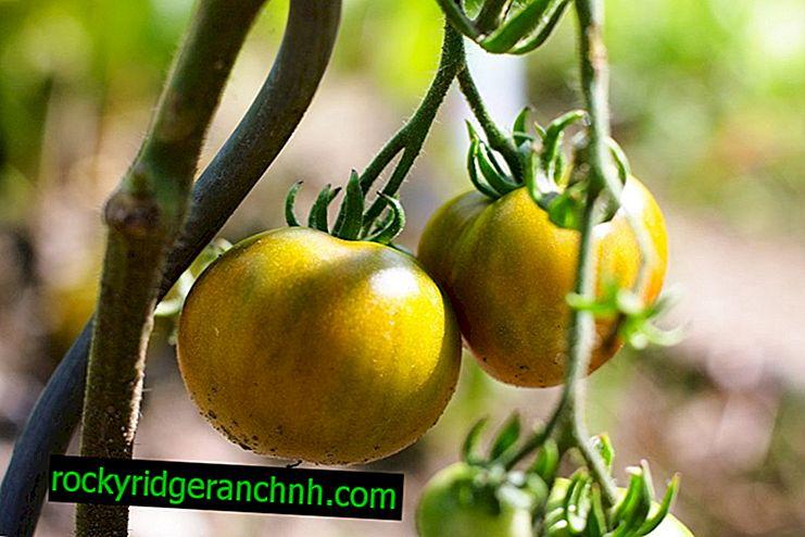Опис томата Медовий Гігант