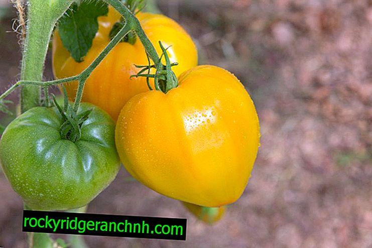 Beschrijving van tomaat Oranje Hart