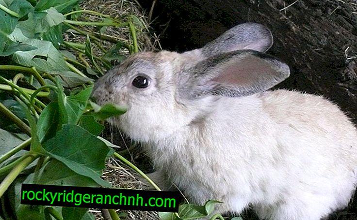 กระต่ายกินอะไรในธรรมชาติ