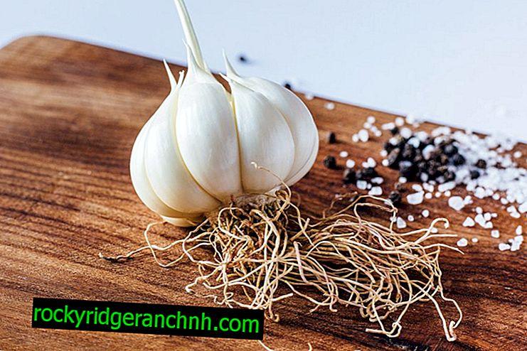 Care for spring garlic in the garden