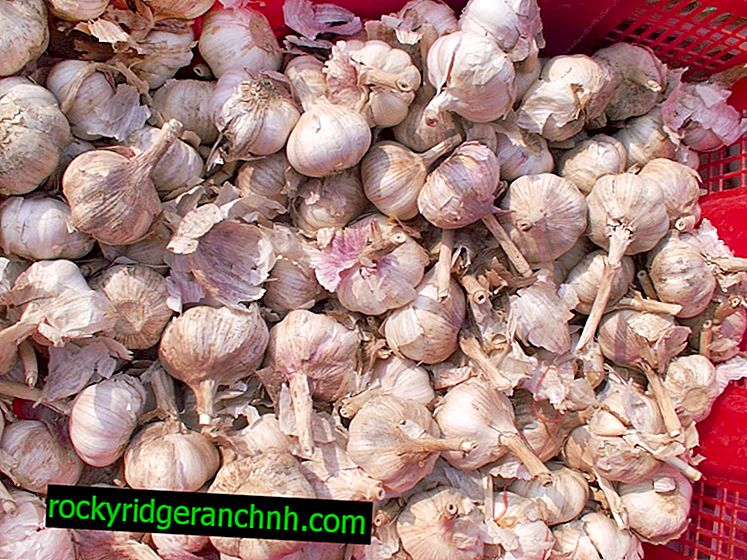 Garlic Processing Technique