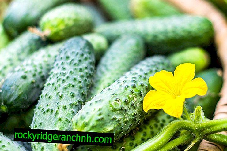Характеристики на краставицата бърза и яростна