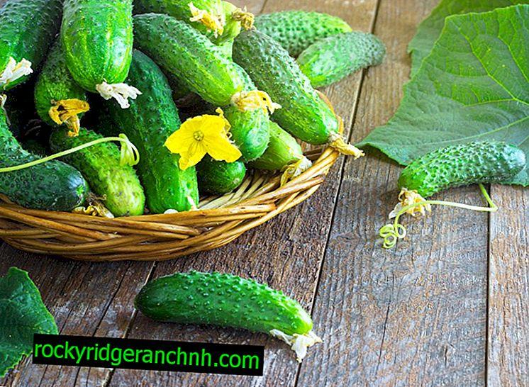 Variasjoner av agurker for en balkong