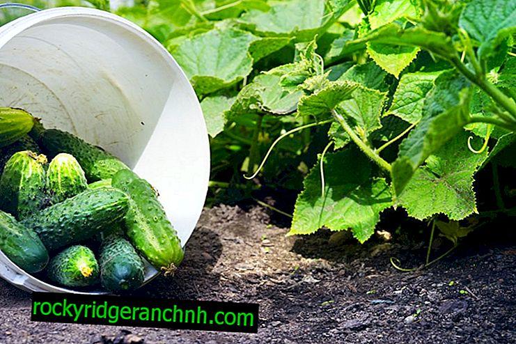 Beschrijving komkommersoorten Moed