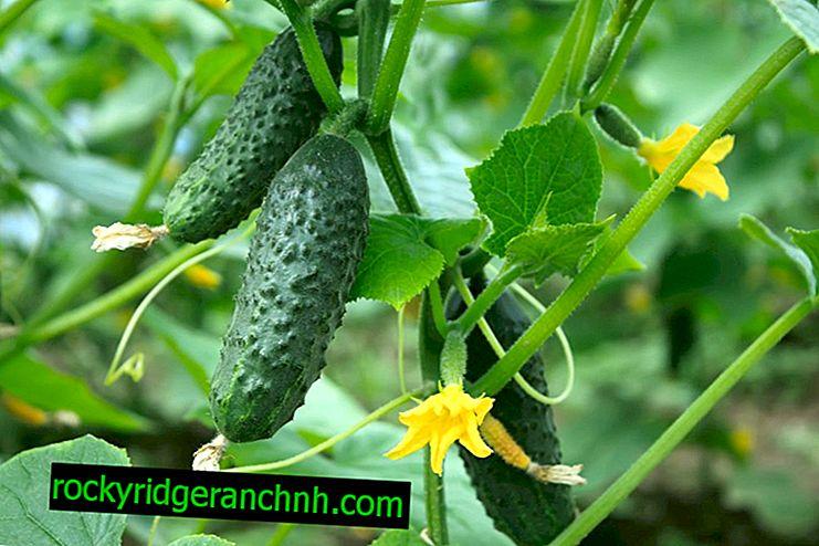 Popis odrůd okurek Červená parmice