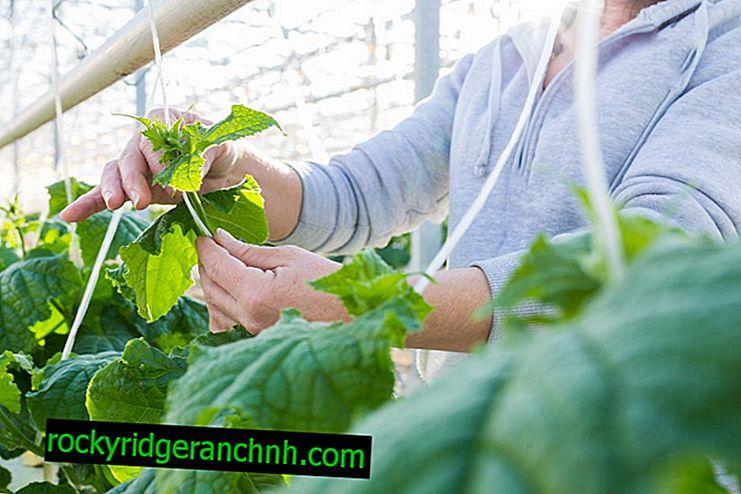 Правила за грижа за краставиците в оранжерията