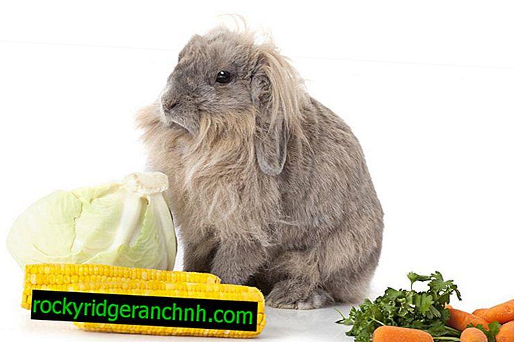 Como introduzir milho na dieta dos coelhos e é possível dar folhas e orelhas