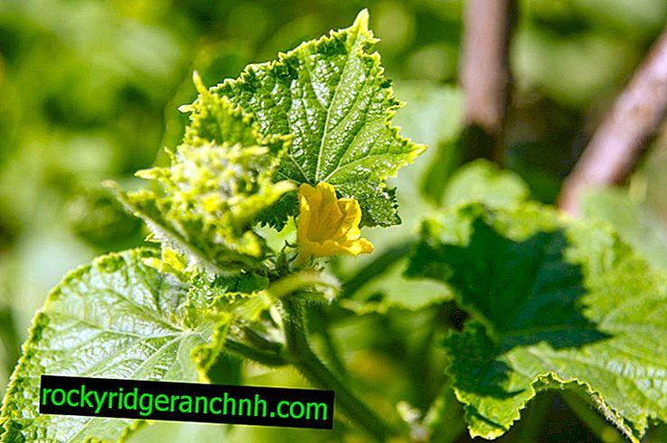 Udendørs busk agurker