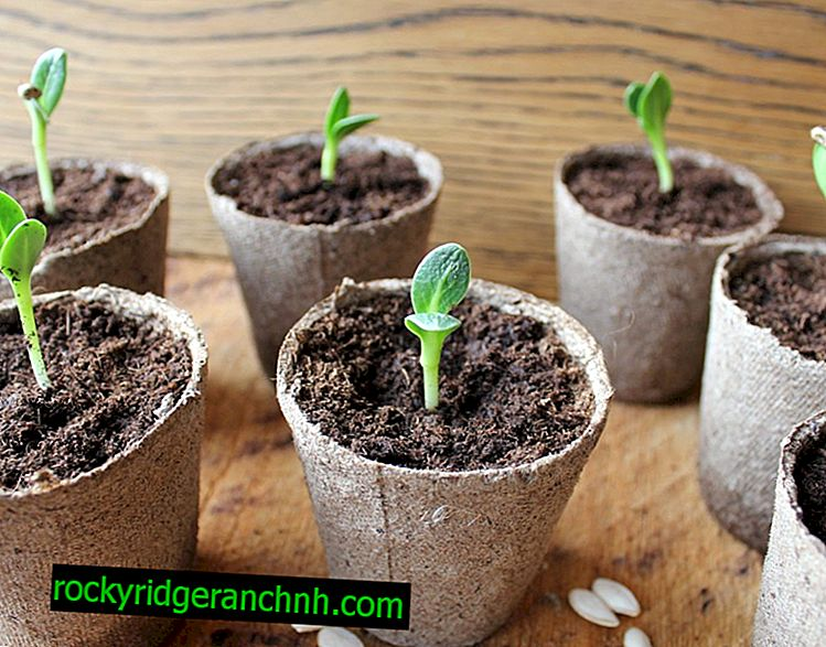 Kolik dní semena okurky obvykle vylíhnou