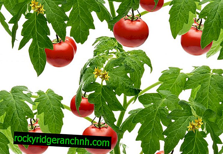 Opis rajčice Ambiciozno čudo