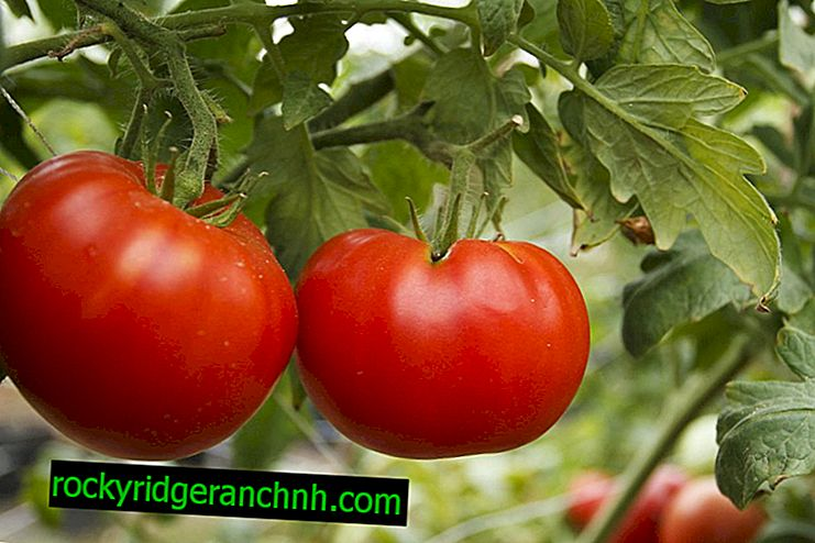 Description of tomato Siberian miracle