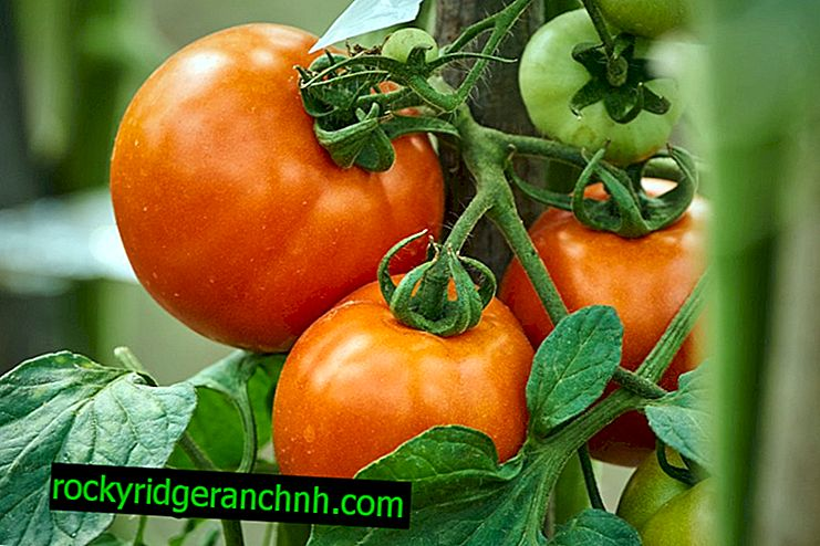 Opis rajčice Alyosha Popovich