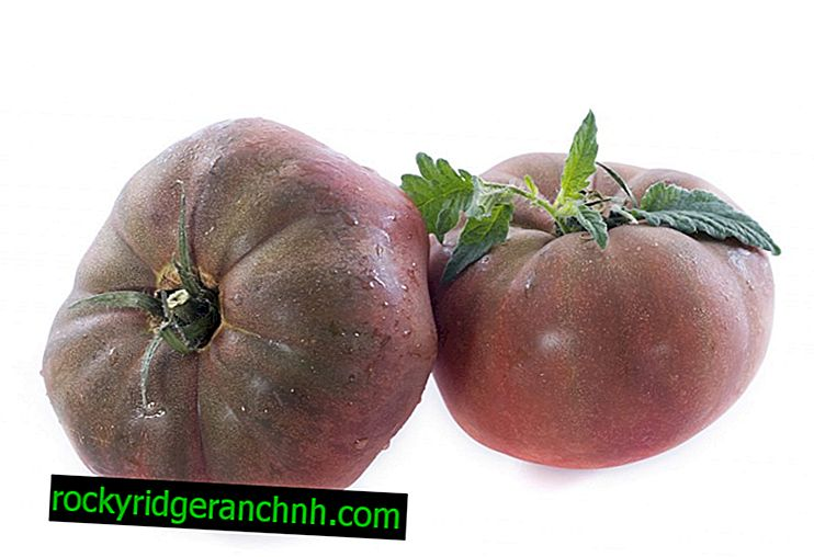 Characteristic of tomato Black Crimea