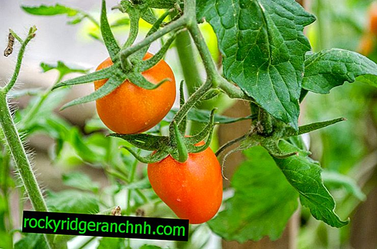 Characteristics of Eagle Beak Tomato
