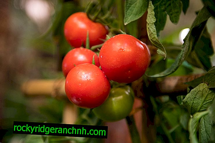Kenmerken van tomatenrassen Doll F1