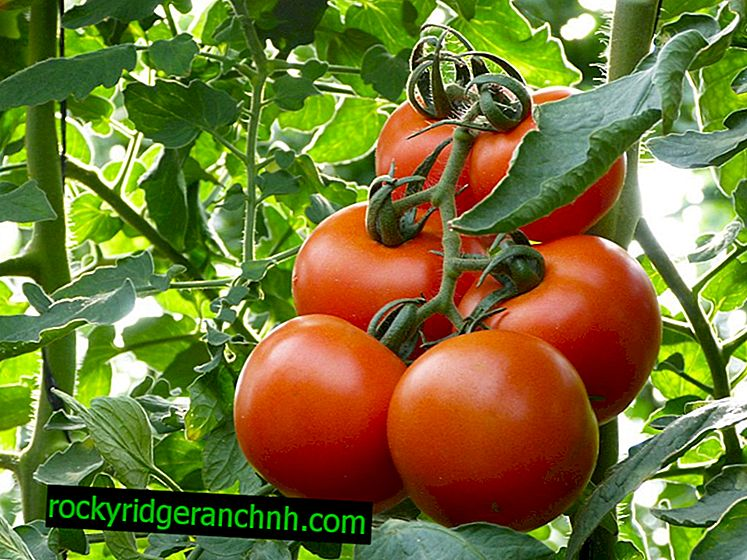Description of tomato makhitos
