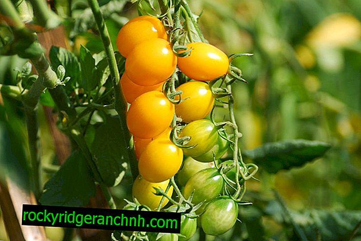 Las variedades más populares de tomates cherry