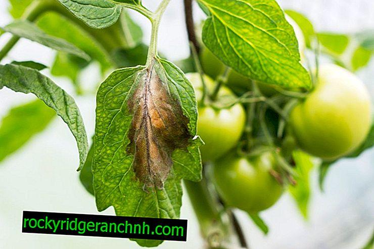 Kako liječiti žute mrlje na lišću rajčice